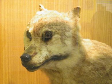 ニホンオオカミの画像 p1_29